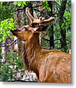 Browsing Elk In The Grand Canyon Metal Print