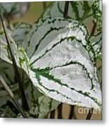 Caladium Named White Christmas Metal Print