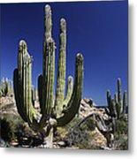 Cardon Pachycereus Pringlei Cacti Metal Print