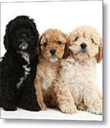 Cockerpoo Puppies Metal Print