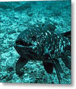 Coelacanth Fish Metal Print