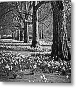 Daffodils In St. James's Park Metal Print