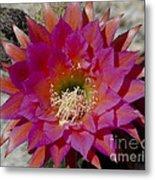 Dark Pink Cactus Flower Metal Print