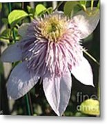 Double Clematis Named Empress Metal Print