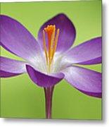 Dutch Crocus Crocus Vernus Flower Metal Print