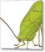 Giant Leaf Katydid Barbilla Np Costa Metal Print