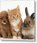 Ginger Kitten With Cavapoo Pup Metal Print