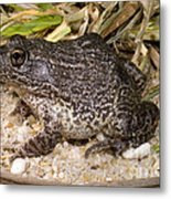 Gopher Frog Metal Print