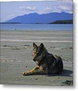 Gray Wolf On Beach Metal Print