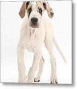 Great Dane Pup Metal Print