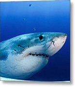 Great White Shark, Guadalupe Island Metal Print
