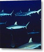 Grey Reef Sharks Metal Print