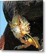 Harris Hawk Feeding Metal Print