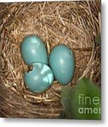 Hatching Robin Nestlings Metal Print