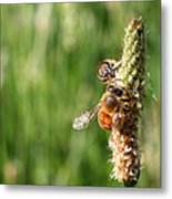 2 Honey Bees Hard At Work Metal Print