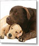 Labradoodle And Labrador Retriever Metal Print