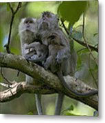 Long-tailed Macaque Macaca Fascicularis Metal Print by Cyril Ruoso