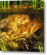 Mating Toads Metal Print