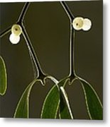 Mistletoe (viscum Album) Metal Print