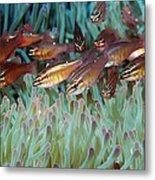 Moluccan Cardinalfish Metal Print
