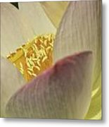 Nelumbo 'pink And Yellow' Metal Print