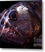 Pacific Viperfish Metal Print