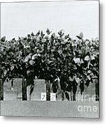 Photoperiodicity In Soybean Plants Metal Print by Science Source