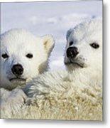 Polar Bear Ursus Maritimus Three Metal Print