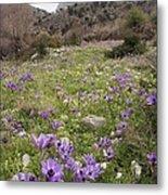 Poppy Anemone Flowers (anemone Coronaria) Metal Print