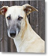 Portrait Of Dog Metal Print