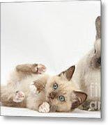 Ragdoll-cross Kitten And Young Metal Print