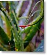 Raindrop On Aloe Vera Leaf Metal Print