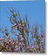 Saucer Magnolia Or Tulip Tree Magnolia X Soulangeana Metal Print