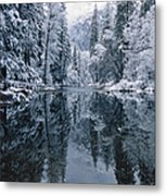 Snow-covered Trees Reflected Metal Print