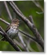 Swainsons Thrush Metal Print