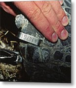 Tagging A Turtle Metal Print by Alexis Rosenfeld