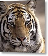 Tiger, Qinhuangdao Zoo, Hebei Province Metal Print