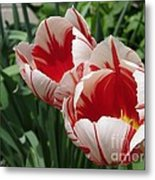 Triumph Tulip Named Carnaval De Rio Metal Print