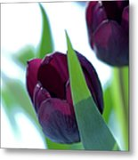 Tulip Flowers (tulipa Sp.) Metal Print