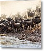Wildebeest Before The Crossing Metal Print