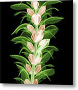 X-ray Of An Acanthus Flower Metal Print