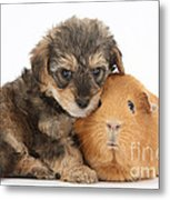 Yorkipoo Pup With Guinea Pig Metal Print