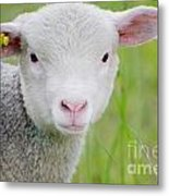 Young Sheep Metal Print