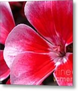 Zonal Geranium Named Candy Fantasy Kiss Metal Print