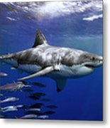 A Great White Shark Swims In Clear Metal Print by Mauricio Handler