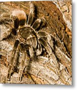 A Tarantula Living In Mangrove Forest Metal Print by Tim Laman
