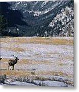 American Elk Cervus Elaphus Nelsoni Metal Print