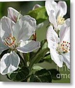 Apple Blossom Metal Print