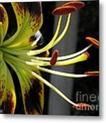 Asiatic Lily Named Black-eyed Cindy Metal Print