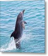 Atlantic Bottlenose Dolphin Metal Print